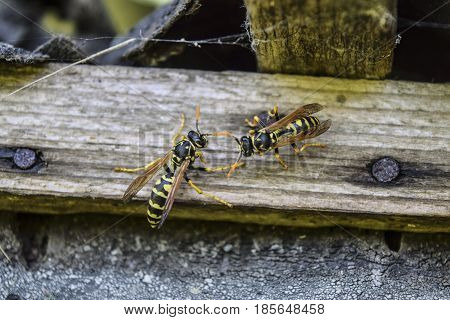 Two Wasps On A Plank. Wasps Polist.