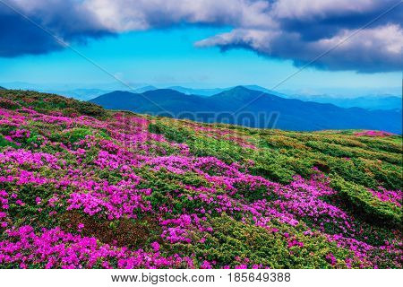 Amazing pink rhododendron flowers on summer mountain. Dramatic sky and colorful sunset