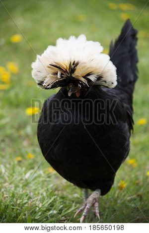 Free range White Crested Black Polish Chicken with white feather crest walking toward camera in field with grass and dandelions. Photographed with shallow depth of field in natural light.
