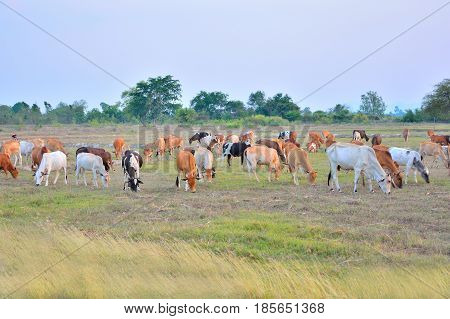 Cow grazing in the field at natural landscape.
