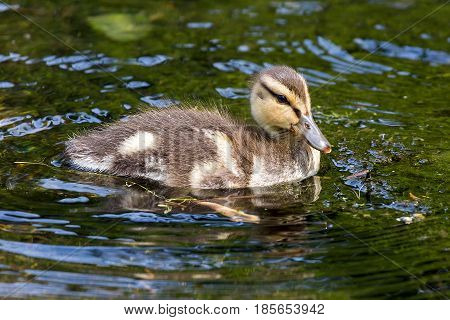 Mallard Duck duckling wading in the lake at Crystal Spring Rhosododendron Garden in Spring
