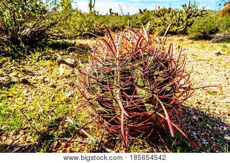 Red Barrel Cactus with long Spikes in the semi-desert landscape of Usery Mountain Regional Park near Phoenix, in Maricopa County, Arizona