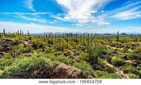 Saguaro Cacti in the semidesert landscape of Usery Mountain Regional Park, Arizona with the Valley of the Sun and the city of Phoenix in the background