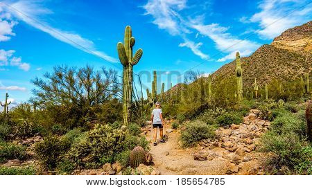 Woman hiking on the Wind Cave Trail to the Colorful Yellow and Orange Geological Layers of Usery Mountain surrounded by Large Boulders, Saguaro and other Cacti in the Arizona Desert