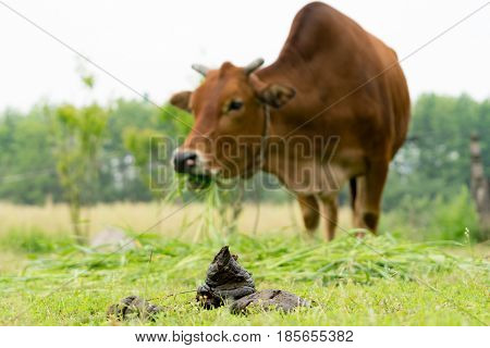 close up cow dung cow pats cow pies cow manure