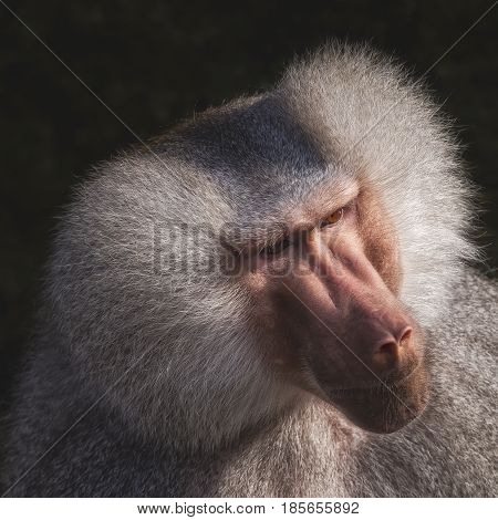 Head shot portrait of a monkey with dark background