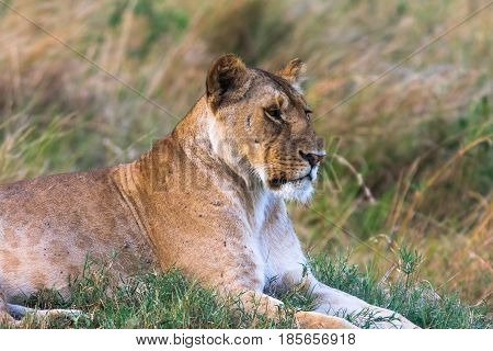 Portrait of a resting lioness on grass. Kenya, Africa