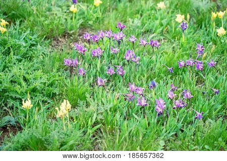 Spring wildflowers wallpaper with blossoming violet iris