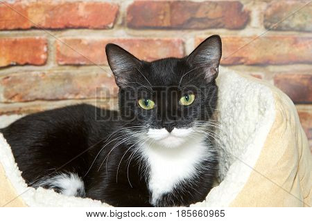 Black and white tuxedo tabby cat laying in a fluffy sheepskin bed next to a brick wall looking directly at viewer.