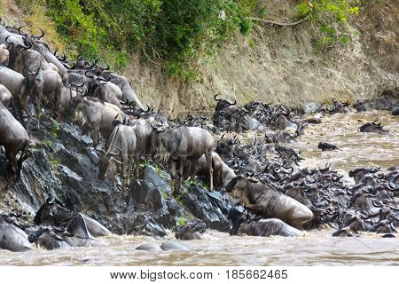 Blue wildebeest (Connochaetes taurinus) climb a river bank after crossing during their migration. Masai Mara Kenya.