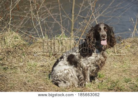 Brown Spotted Russian Spaniel Sits On The Green Grass