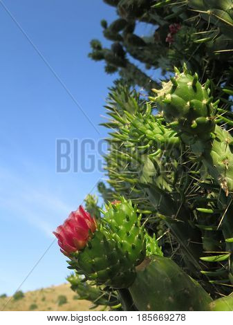 Flower On Cholla Cactus