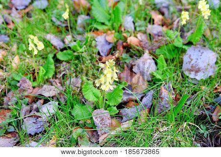 Cowslip Among Fallen Leves. Primrose. Primula Veris. Soft Dof