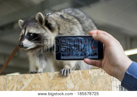raccoon on the phone gadget man takes photo of animal