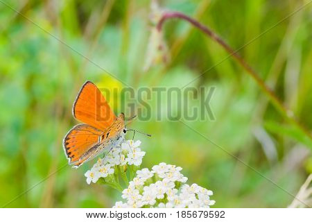 Orange butterfly sucks nectar from white flowers