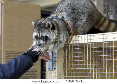 raccoon with shaggy hair sitting on the cage stretches the legs to the arm of a man
