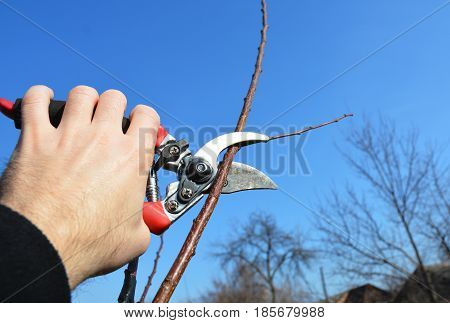 Gardener hand cut tree branch with bypass secateurs pruning in spring. Fruit tree pruning with pruning shears.