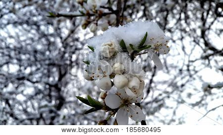 Spring buds and flowers of fruit tree covered in snow. Nature deviance. Temperature anomaly. Spring and snow.
