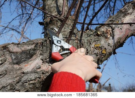 Gardener pruning fruit tree branch in the garden. Gardener hand cutting fruit tree with bypass secateurs.