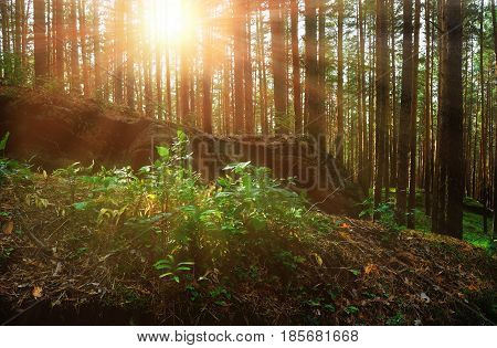 Forest sunrise. Stone boulder in form of sleeping dragon in the summer sunrise light in the summer forest at Chashkovskoe stone settlement in Southern Urals.Summer forest landscape. Summer sunrise in the forest- forest landscape view.Summer forest nature.