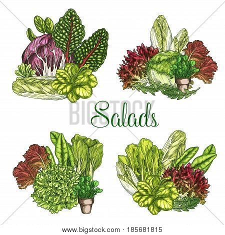 Salads and lettuces bunches. Vector set of leafy vegetables harvest of arugula or pak choi and chicory, oakleaf or corn salad and watercress, gotukola leaf, collard and swiss chard cabbage or spinach