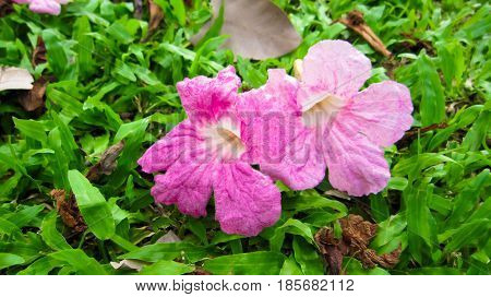 Pink trumpet on green gress background and dry leafs.