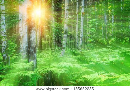 Forest sunset landscape with forest summer birches in sunlight. Soft filter applied. Forest birch trees in sunny summer forest -colorful forest summer background. Forest nature in sunny weather. Forest summer landscape