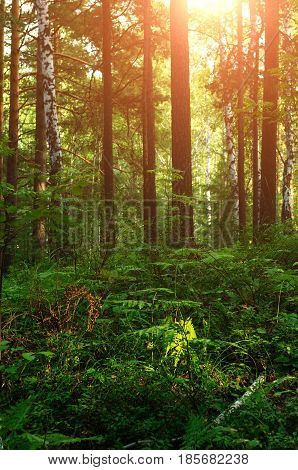 Summer forest landscape with forest looking enchanted lit by warm bright sunset summer light. Focus at the forest ferns. Soft filter applied.Summer forest nature. Forest trees in the summer forest in the sunny evening.
