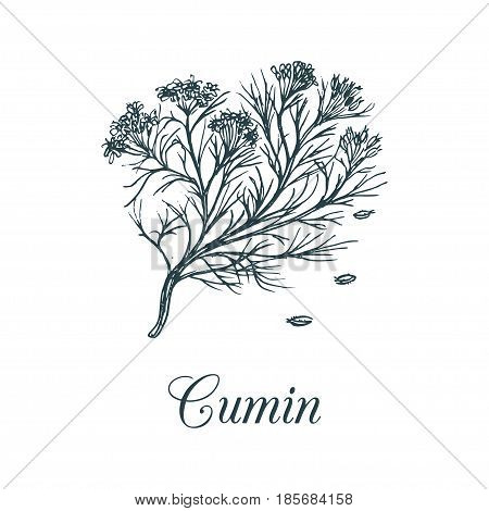 Vector cumin with seeds illustration. Culinary aromatic spice sketch. Botanical drawing of caraway in engraving style