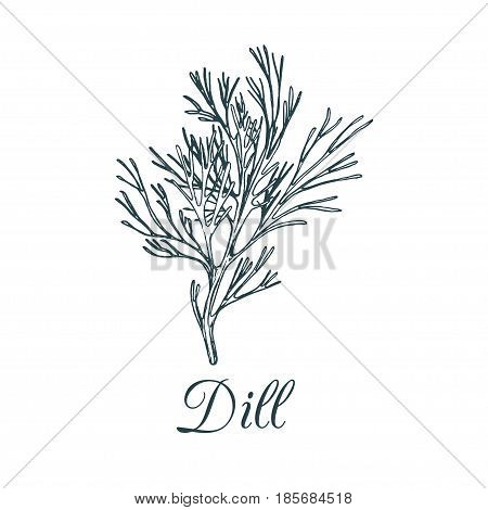 Vector dill illustration isolated. Hand drawing flavoring plant sketch. Botanical herbal card in engraving style. Condiment drawing for tag.
