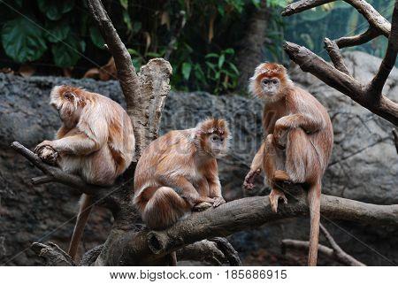 Three javan langur monkeys all hanging in a fallen tree.
