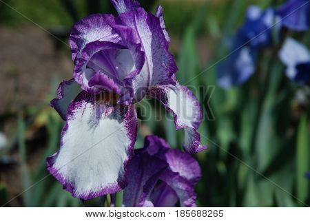 Flowering purple and white bearded iris flower blossom.