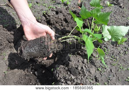Woman Hand Plant and Grow Sweet Potatoes. Gardener Growing Sweet Potatoes. Sweet potatoes come in two forms: vining and bush varieties.