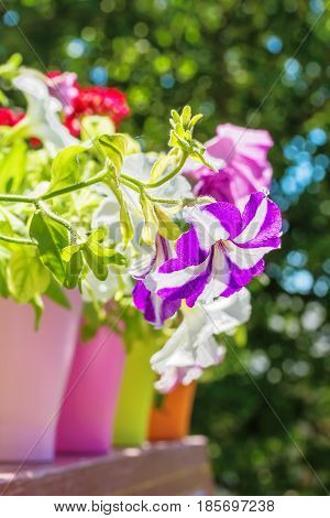 Bright summer flowers in colorful flowerpots backlit on a blurred background of green foliage on a sunny day. Selective focus