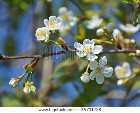 White cherry blossom on tree close up