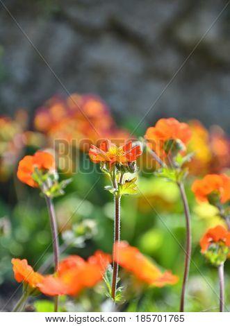 Orange Avens Flowers