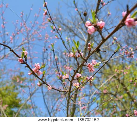 Pink peach blossom on the tree branches