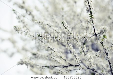 Beautiful white spring blossom. Orchard in bloom. Trees with flowers.