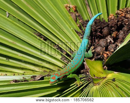 Day gecko laying on palm tree leaf habitat