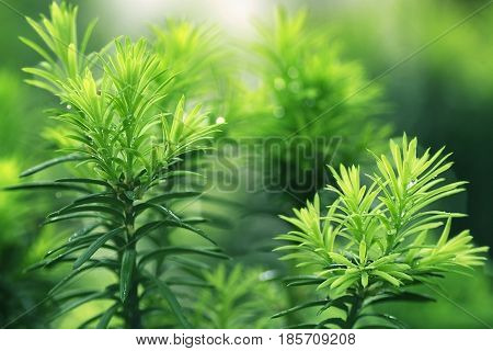 natural background yew-tree new young needles with selective focus  in  droplets of rainfor all types of Yew characterised by flat and short needles, located on the shoots most often in two rows in a comb