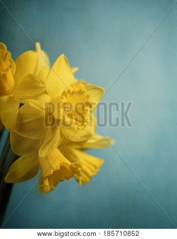 Beautiful fresh narcissus in front of rustic blue wall