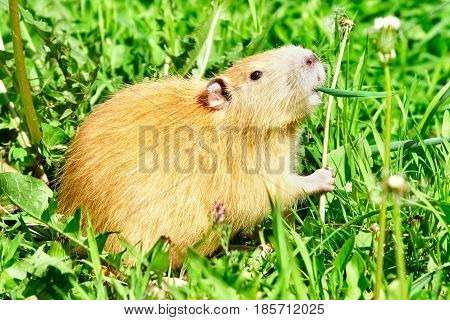 Coypu eating dandelions, sitting in the grass