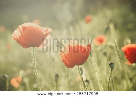 Closeup of poppies in sunny meadow. Fine art image of red poppy flowers.