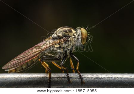 Asilidae - Assassin or Robber fly close-up. Predator that hunt and feed on other insects.