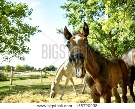 Funny portrait of young chestnut horse smiling