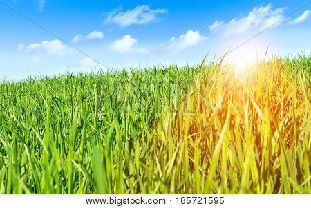 Green wheat field with blue sky at sunrise - Farmland at spring time with sun halo filter and white clouds - Concept of organic farming