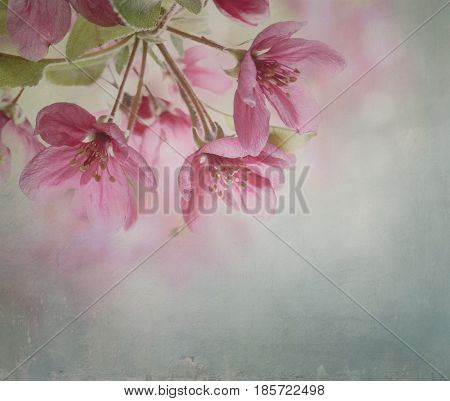 Beautiful cherry blossom closeup with canvas texture
