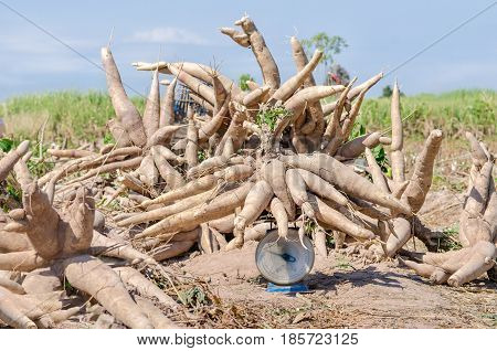 Big pile of fresh cassava harvested in farmland.