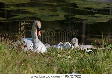 White Swan And Gray Ducklings In Lake's Edge