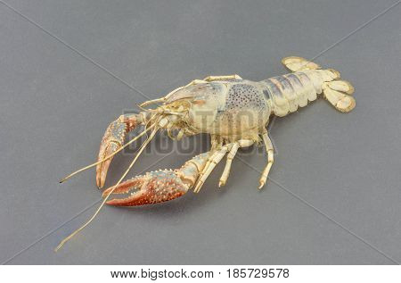 The remains of the crayfish molt isolated on isolated on gray background